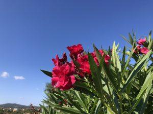 Blütenpracht auf Mallorca